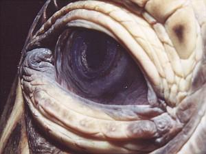 sea_turtle_eye